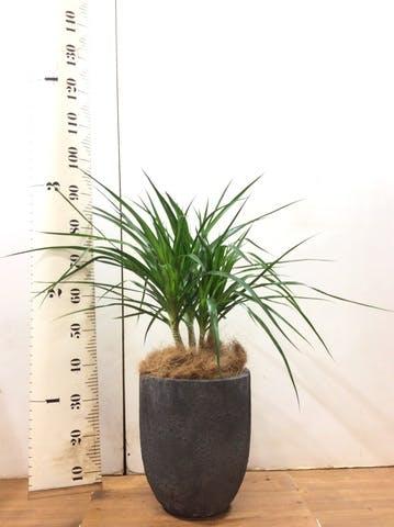 観葉植物 ドラセナ カンボジアーナ 8号 フォリオアルトエッグ ブラックウォッシュ 付き