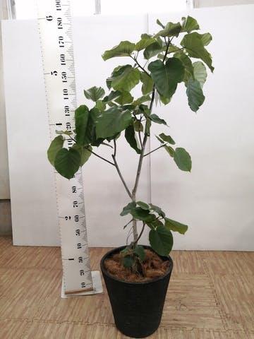 観葉植物 フィカス ウンベラータ 10号 ノーマル ビアスソリッド ブラック 付き