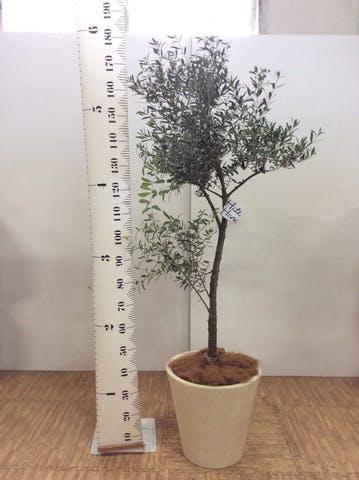 観葉植物 オリーブの木 10号 創樹 フォリオソリッド クリーム 付き