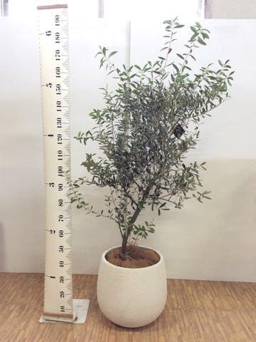 観葉植物 オリーブの木 10号 創樹 エコストーンwhite 付き