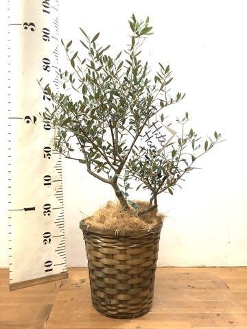 観葉植物 オリーブの木 7号 創樹 竹バスケット 付き