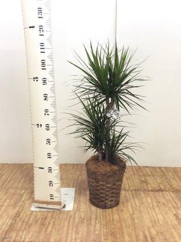 観葉植物 ドラセナ コンシンネ 8号 寄せ 竹バスケット 付き