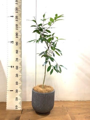 観葉植物 アマゾンオリーブ (ムラサキフトモモ) 8号 カルディナダークグレイ 付き