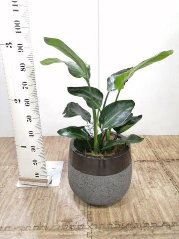 観葉植物 オーガスタ 8号 ファイバーストーンタウルス 黒 付き