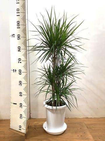 観葉植物 ドラセナ コンシンネ 8号 寄せ プラスチック鉢
