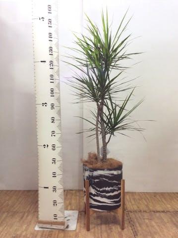 観葉植物 ドラセナ コンシンネ 8号 ホルスト シリンダー マーブル ウッドポットスタンド付き