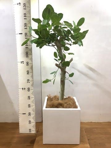 観葉植物 フィカス ベンガレンシス 8号 ストレート バスク キューブ 付き
