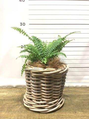 観葉植物 ネフロレピス 3.5号 グレイラタン 付き
