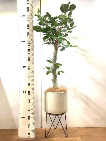 観葉植物 フィカス ベンガレンシス 8号 ストレート ビトロ エンデカ クリーム アイアンポットスタンド ブラック 付き