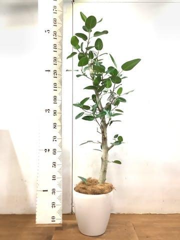 観葉植物 フィカス ベンガレンシス 8号 ストレート ラスターポット 付き