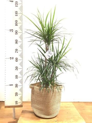 観葉植物 ドラセナ コンシンネ 8号 リブバスケットNatural 付き