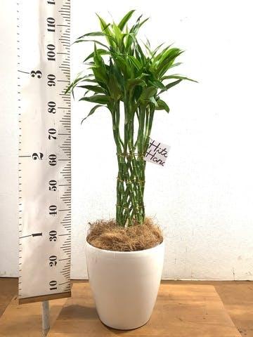 観葉植物 ドラセナ ミリオンバンブー(幸運の竹) 8号 ラスターポット 付き