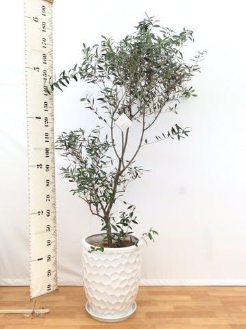 観葉植物 オリーブの木 10号 創樹 サンタクルストール 白 付き