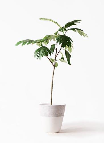 観葉植物 パンノキ 8号 ジュピター 白 付き