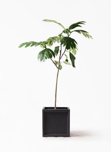 観葉植物 パンノキ 8号 ブリティッシュキューブ 付き