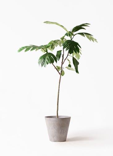 観葉植物 パンノキ 8号 アートストーン ラウンド グレー 付き