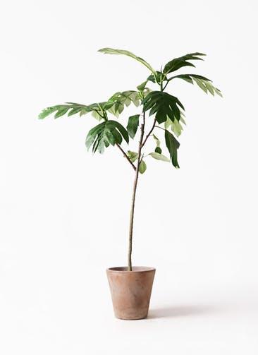 観葉植物 パンノキ 8号 ルーガ アンティコ ソリッド 付き