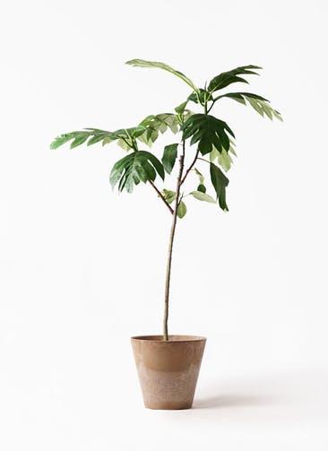 観葉植物 パンノキ 8号 アートストーン ラウンド ベージュ 付き