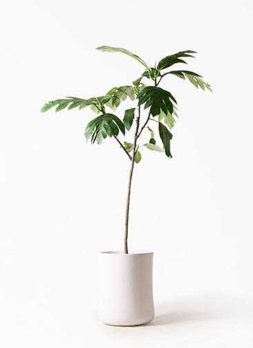 観葉植物 パンノキ 8号 バスク ミドル ホワイト 付き