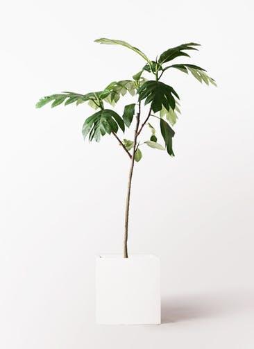 観葉植物 パンノキ 8号 バスク キューブ 付き