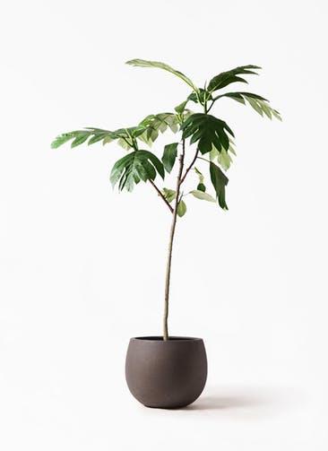 観葉植物 パンノキ 8号 テラニアス ローバルーン アンティークブラウン 付き