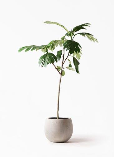 観葉植物 パンノキ 8号 テラニアス ローバルーン アンティークホワイト 付き