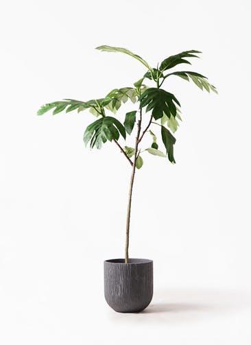 観葉植物 パンノキ 8号 カルディナダークグレイ 付き