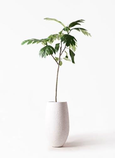 観葉植物 パンノキ 8号 フォンティーヌトール 白 付き