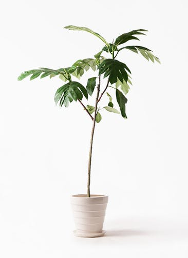 観葉植物 パンノキ 8号 サバトリア 白 付き