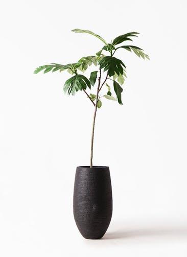 観葉植物 パンノキ 8号 フォンティーヌトール 黒 付き