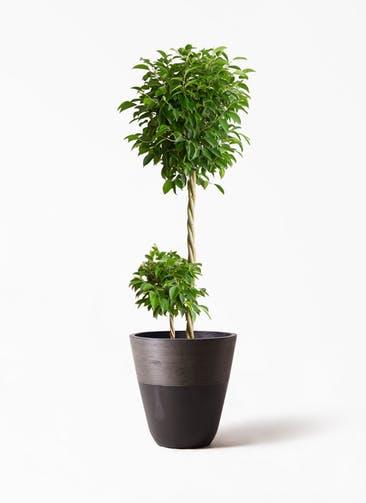 観葉植物 フィカス ベンジャミン 10号 玉造り ジュピター 黒 付き