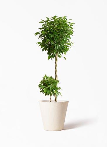 観葉植物 フィカス ベンジャミン 10号 玉造り フォリオソリッド クリーム 付き