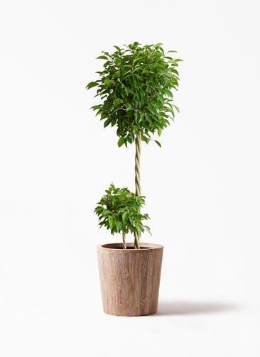 観葉植物 フィカス ベンジャミン 10号 玉造り ウッドプランター 付き