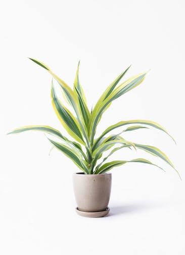 観葉植物 ドラセナ ワーネッキー レモンライム 4号 アステア トール ベージュ 付き
