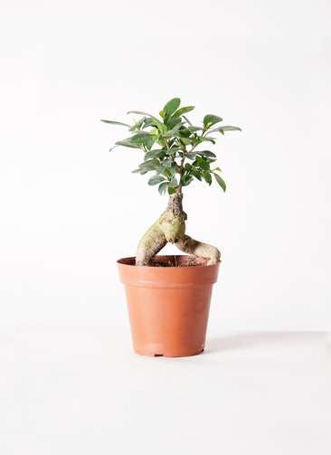 観葉植物 ガジュマル 4号 股仕立て プラスチック鉢