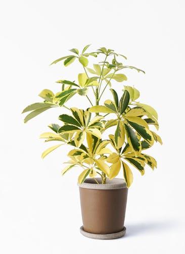 観葉植物 カポック(シェフレラ) 4号 斑入り キャメルポット ブラウン 付き