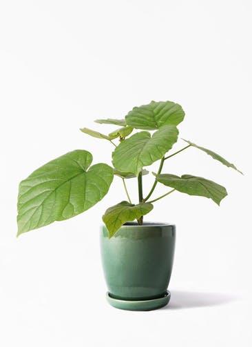 観葉植物 フィカス ウンベラータ 4号 ノーマル アステア トール グリーン 付き