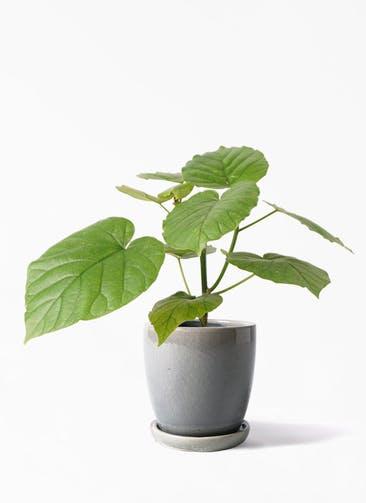 観葉植物 フィカス ウンベラータ 4号 ノーマル アステア トール ライトグレー 付き