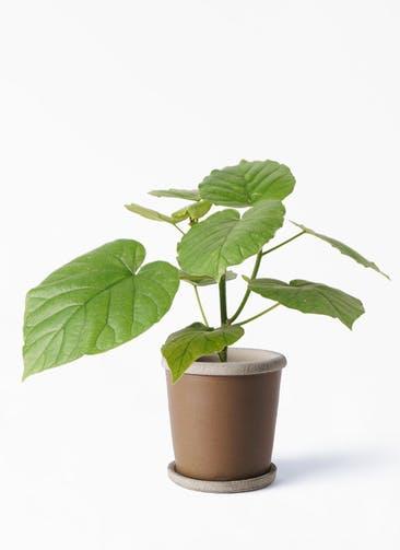 観葉植物 フィカス ウンベラータ 4号 ノーマル キャメルポット ブラウン 付き