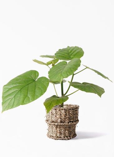 観葉植物 フィカス ウンベラータ 4号 ノーマル バスケット 付き