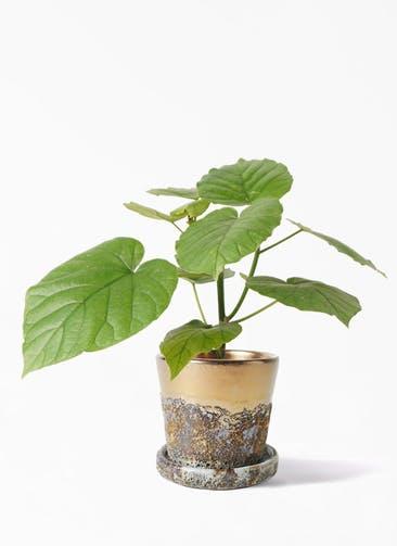 観葉植物 フィカス ウンベラータ 4号 ノーマル ハレー ブロンズ 付き