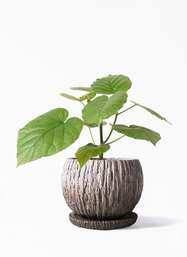 観葉植物 フィカス ウンベラータ 4号 ノーマル ストーン ウェア セラミック 付き