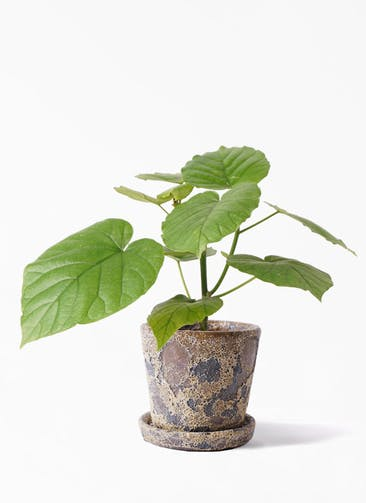 観葉植物 フィカス ウンベラータ 4号 ノーマル ハレー カーキー 付き
