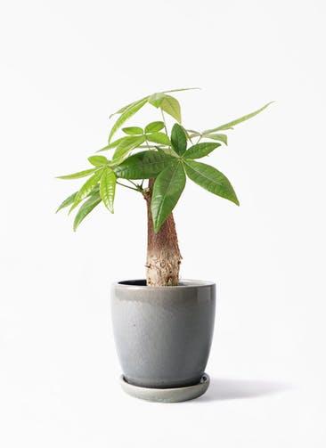 観葉植物 パキラ 4号 朴 アステア トール ライトグレー 付き