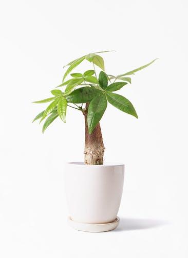 観葉植物 パキラ 4号 朴 アステア トール ホワイト 付き