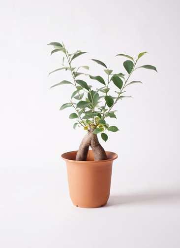 観葉植物 ガジュマル 5号 股仕立て プラスチック鉢