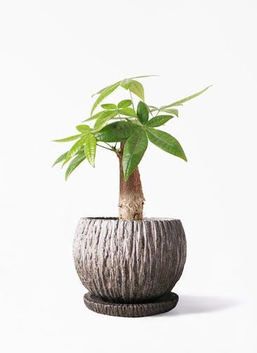 観葉植物 パキラ 4号 朴 ストーン ウェア セラミック 付き