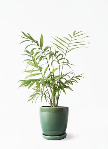 観葉植物 テーブルヤシ 4号 アステア トール グリーン 付き