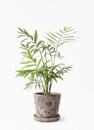観葉植物 テーブルヤシ 4号 ハレー カーキー 付き