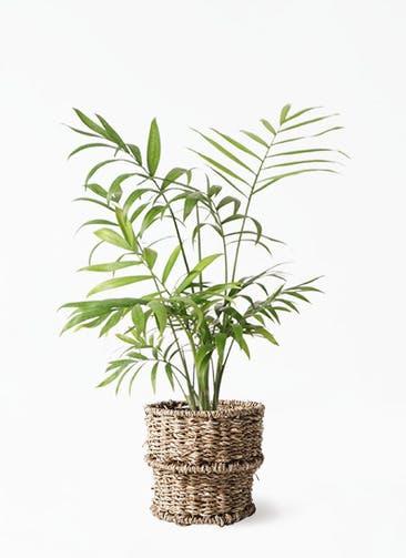観葉植物 テーブルヤシ 4号 バスケット 付き